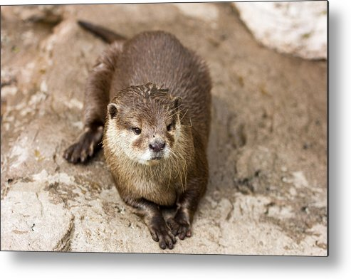 Otter Metal Print featuring the photograph Cute Otter Portrait by Pati Photography