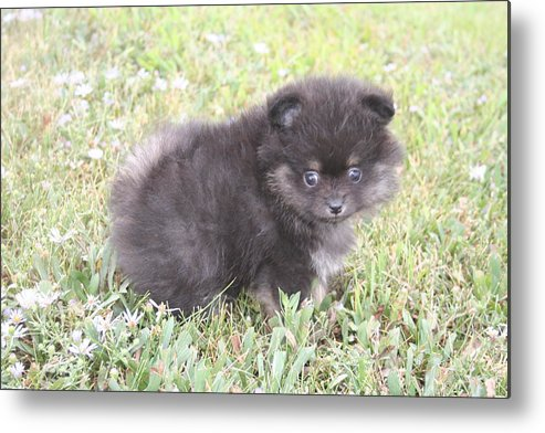 Pup Metal Print featuring the photograph Cute Puppy by Trudi Olfert