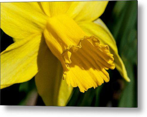 Flower Metal Print featuring the photograph Daffodil by Thomas Maugham