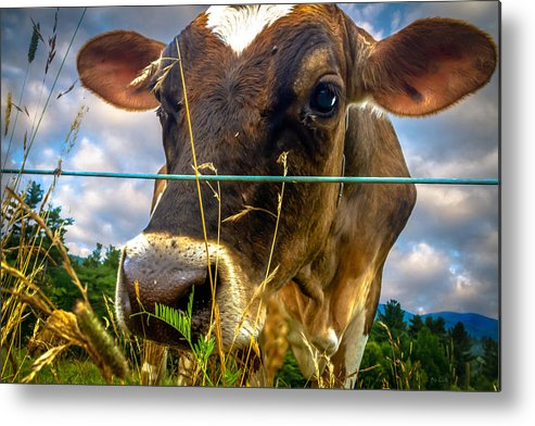 Cow Metal Print featuring the photograph Dairy Cow by Bob Orsillo