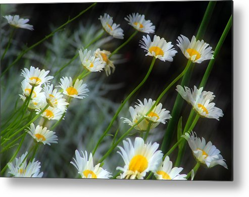 Daisies Metal Print featuring the photograph Daisies A by Jim Vance