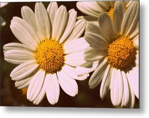 Flower Metal Print featuring the photograph Daisies by Chevy Fleet