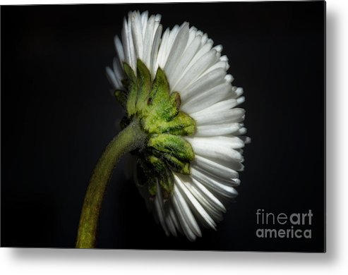 Flower Metal Print featuring the photograph Daisy Flower by Mats Silvan