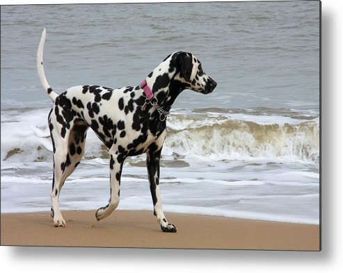 Dalmatian By The Sea Metal Print featuring the photograph Dalmatian By The Sea by Gordon Auld