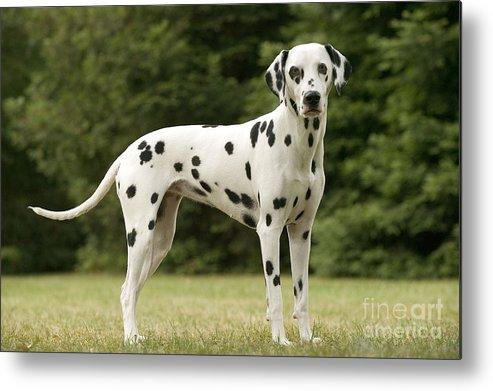 Dalmatian Metal Print featuring the photograph Dalmatian Dog by Jean-Michel Labat