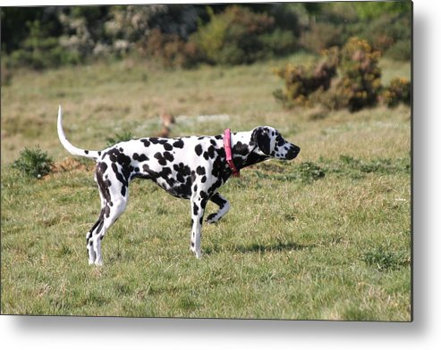 Dalmatian Pretending To Be A Pointer Metal Print featuring the photograph Dalmation Pretending To Be A Pointer by Gordon Auld