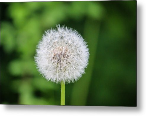 Seeds Metal Print featuring the photograph Dandelion - Stage 2 by Debbie Orlando