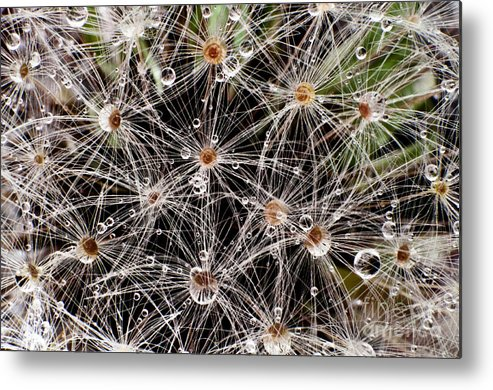 Plants Metal Print featuring the photograph Dandelion by Natalie Kilpatrick