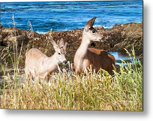 State Beach Near Big Sur Metal Print featuring the photograph Deer On The Beach At Point Lobos Ca by Artist and Photographer Laura Wrede