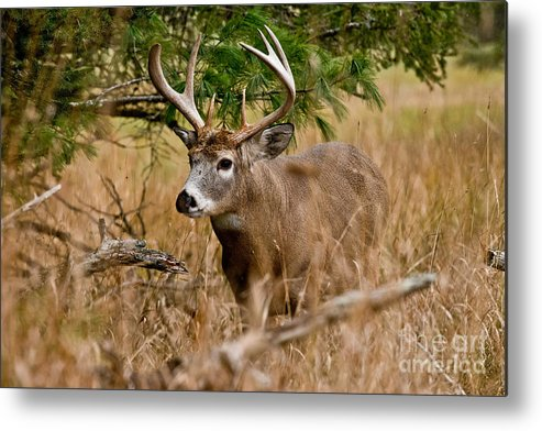 White-tailed Deer Metal Print featuring the photograph Deer Pictures 525 by World Wildlife Photography