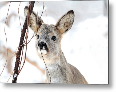 Deer; Wildlife; Wildlife Photography; Nature; Snow; Winter; Forest; Mountains; Maramures Mountains; Maramures; Natural Park; Park; Reservation Metal Print featuring the photograph Deer by Silviu Matei