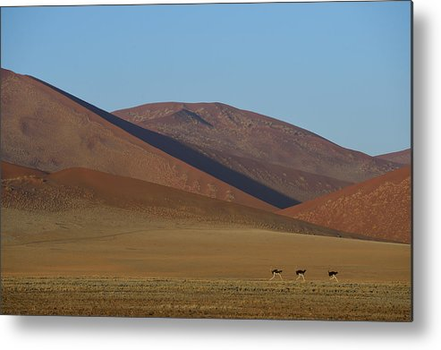 Struthio Camelus Metal Print featuring the photograph Desert Running by Tony Beck