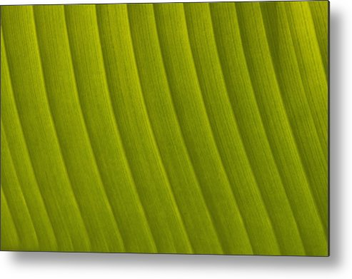 Cumming Metal Print featuring the photograph Detail Of Leaf Marrakech, Morocco by Ian Cumming