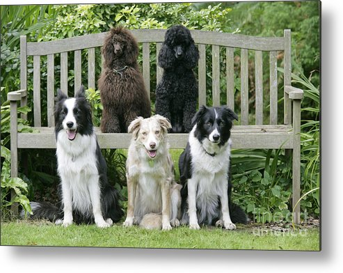 Dogs Metal Print featuring the photograph Dogs Sitting On Bench by John Daniels