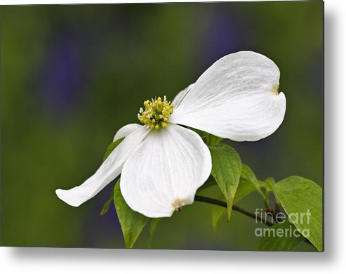 Eastern Metal Print featuring the photograph Dogwood Blossom - D001797 by Daniel Dempster