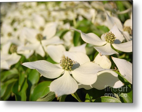 Dogwood Metal Print featuring the photograph Dogwood by Laura Sapko