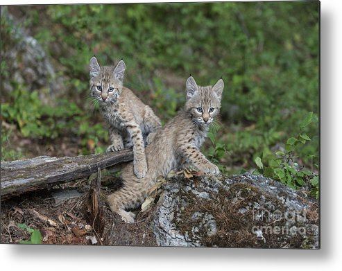 Animals Metal Print featuring the photograph Double Trouble by Sandra Bronstein