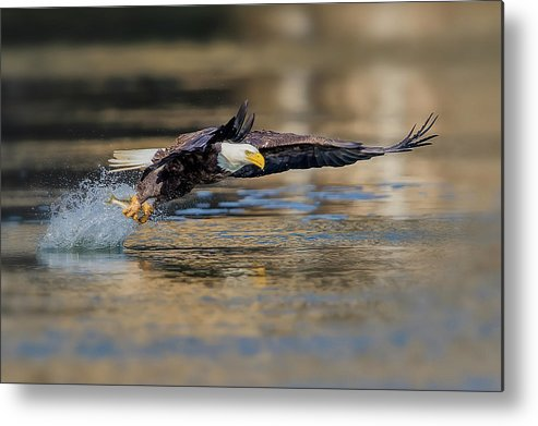 Eagle Metal Print featuring the photograph Drag by Rob Li