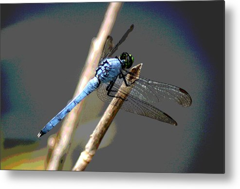 Dragonfly Metal Print featuring the photograph Dragonfly - Great Blue Skimmer by Greg Thiemeyer