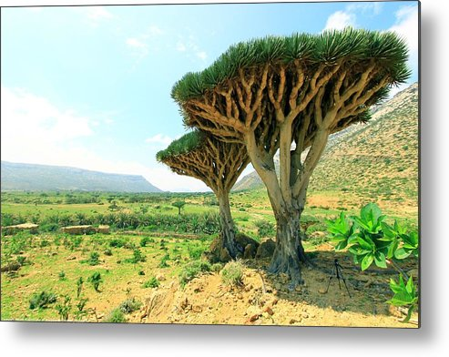 Dragon's Blood Metal Print featuring the photograph Dragon's Blood Tree 3 by Muneer Binwaber
