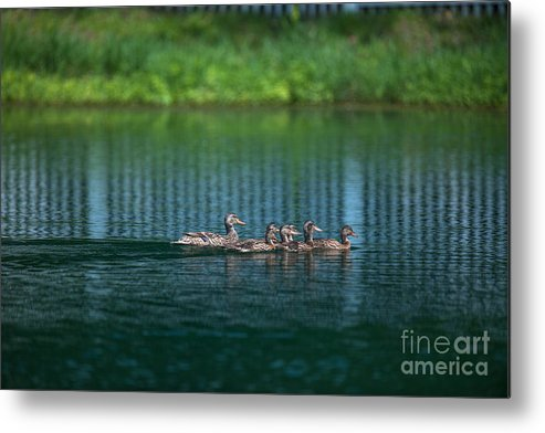 Ducks Metal Print featuring the photograph Duck Slide by Dale Powell
