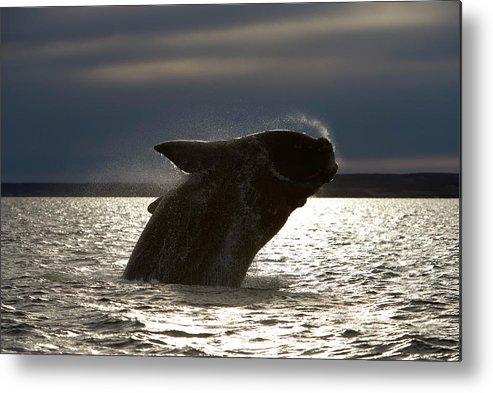 Cetaceans Metal Print featuring the photograph Ea 895 by Francois Gohier