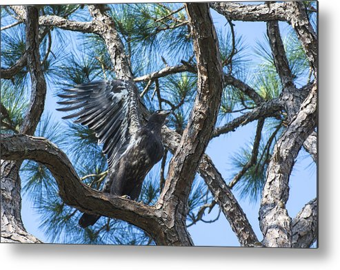 Baby Eagles Metal Print featuring the photograph Eagle Flight Prep by Michael Gooch