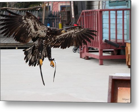 Brown Metal Print featuring the photograph Eagle Landing by Gonzalo Martinez