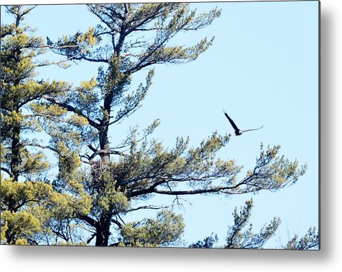 Bald Eagle Metal Print featuring the photograph Eagle Nest by Thomas Phillips