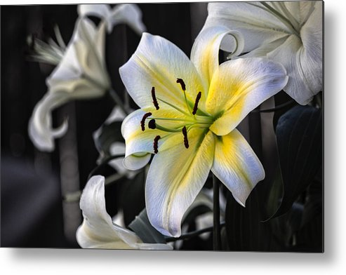 Lily Metal Print featuring the photograph Easter Lily On Black by Dave Garner