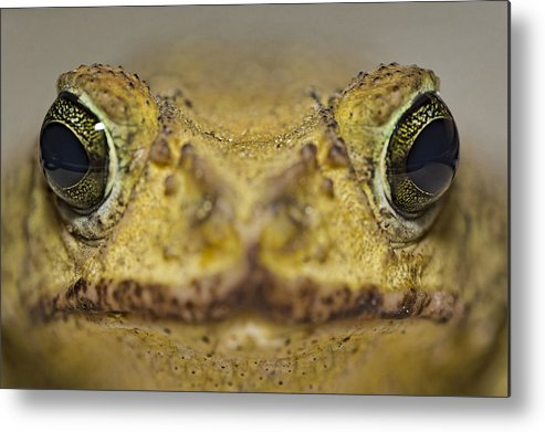 Cuba Metal Print featuring the photograph Eastern Giant Toad by Christian Schroeder