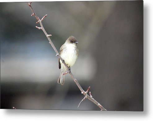 Eastern Phoebe Metal Print featuring the photograph Eastern Phoebe by Thomas Phillips