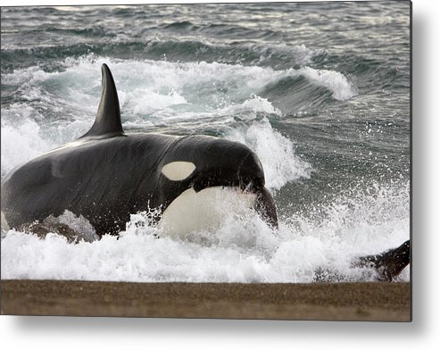Killer Whale Metal Print featuring the photograph Eb 275 by Francois Gohier