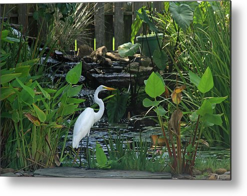 Egret Metal Print featuring the photograph Egret At A Pond by Ronald Olivier
