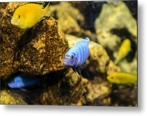 Electric Metal Print featuring the photograph Electric Cichlids by Chris Smith