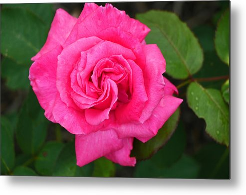 Electron Rose Metal Print featuring the photograph Electron Hybrid Tea Rose by Allen Beatty