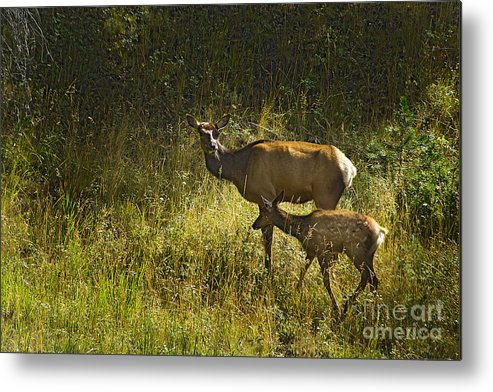 Elk Metal Print featuring the photograph Elk Doe And Fawn-signed #4465 by J L Woody Wooden