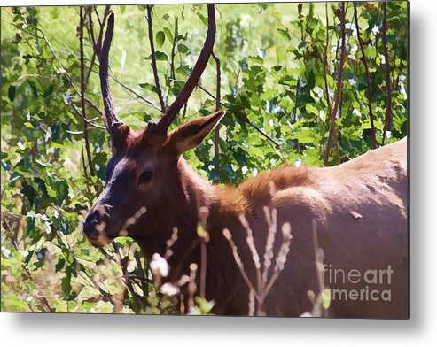 Elk Metal Print featuring the photograph Elk In Hiding by Audreen Gieger