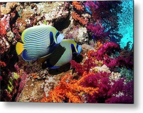 Nobody Metal Print featuring the photograph Emperor Angelfish On A Reef by Georgette Douwma