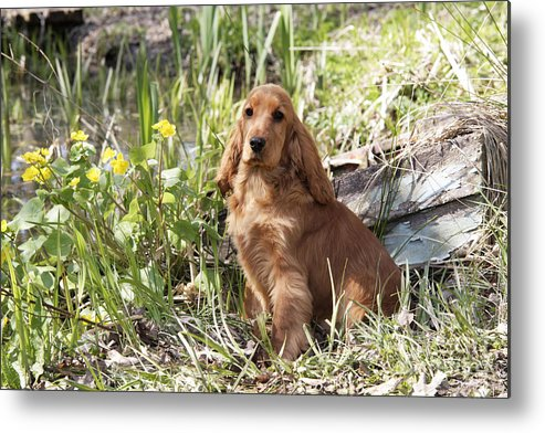 English Cocker Metal Print featuring the photograph English Cocker Spaniel Puppy by John Daniels