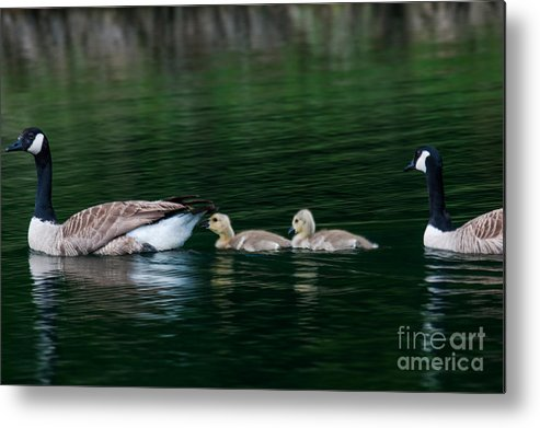 Geese Metal Print featuring the photograph Family Swim by Dale Powell
