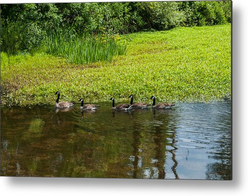Goose Metal Print featuring the photograph Family Swim by Tikvah's Hope