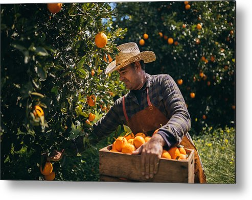 Vitamin C Metal Print featuring the photograph Farmer Picking Ripe Oranges From Orange Trees In Orange Grove by Wundervisuals