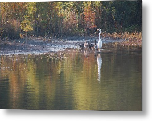 Egret Metal Print featuring the photograph Fast Feathered Friends by Suzanne Gaff
