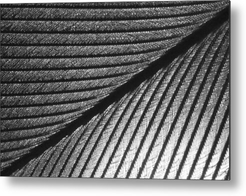Metal Print featuring the photograph Feather by Yuefei Zheng