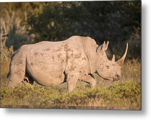 Adult Metal Print featuring the photograph Female White Rhinoceros by Science Photo Library