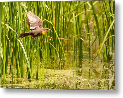 Yellow-headed Black Bird Metal Print featuring the photograph Female Yellow-headed Black Bird by Natural Focal Point Photography