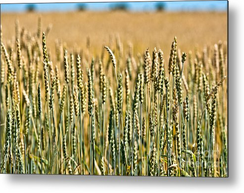 Wheat Metal Print featuring the photograph Field Of Gold by Cheryl Baxter