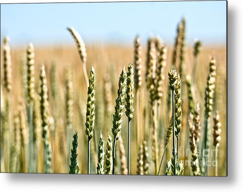 Wheat Metal Print featuring the photograph Field Of Wheat by Cheryl Baxter