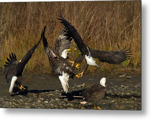 Bald Eagle Metal Print featuring the photograph Fight Time by Shari Sommerfeld